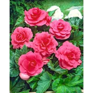 Begonia pełna - różowa - 2 szt.