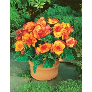 Begonia - Picotee Yellow - żółto-pomarańczowa - 2 szt.