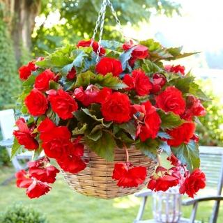 Begonia zwisająca - czerwona - 2 szt.