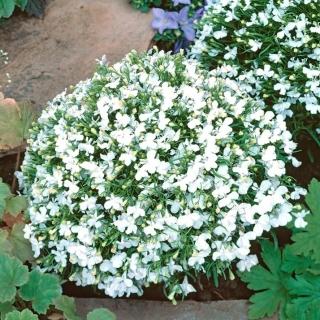 Lobelia White Lady - biała