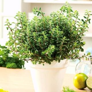Domowy ogródek - Majeranek - do uprawy w domu i na balkonie