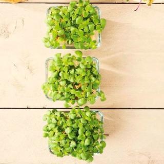 Microgreens - Bazylia cytrynowa Mrs. Burns - młode listki o unikalnym smaku