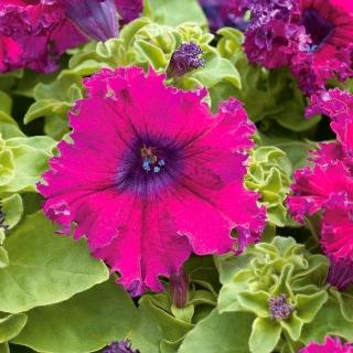 Petunia o kwiatach strzępiastych - amarantowa