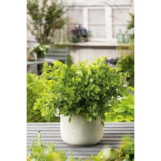 Mini ogród - Pietruszka naciowa o gładkich liściach - do uprawy na balkonach i tarasach