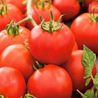 Pomidor Antares - wyjątkowo odporny, uprawa bez palikowania