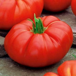 Pomidor Brutus - gigant, nawet do 2 kg