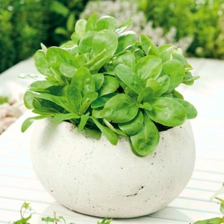 Domowy ogródek - Roszponka warzywna - do uprawy w domu i na balkonie