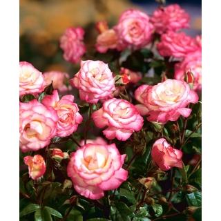Róża parkowa biało-różowa - sadzonka