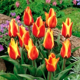 Tulipan Cape Cod  - opak. 5 szt.