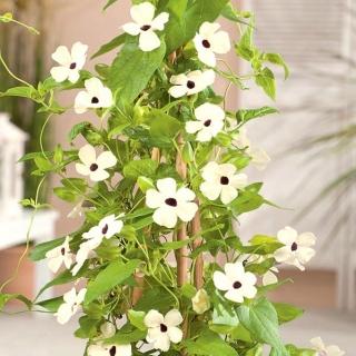 Tunbergia biała