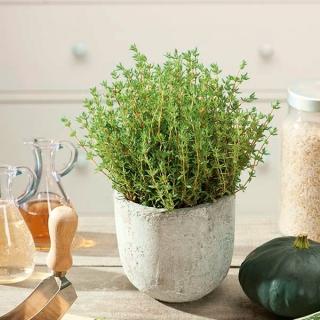 Domowy ogródek - Tymianek właściwy - Słoneczko - do uprawy w domu i na balkonie