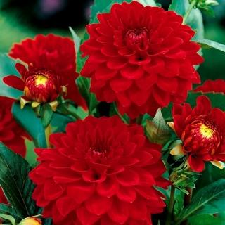 Dalia czerwona - Dahlia Red