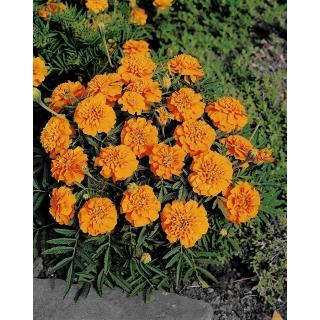 Aksamitka Kora - rozpierzchła, niska, pomarańczowa