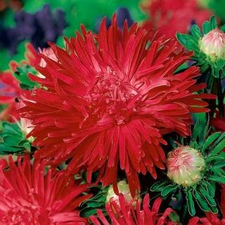 Aster chryzantemowy Flaming - czerwony