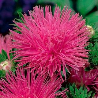 Aster igiełkowy Walentyna - wysoki, różowy