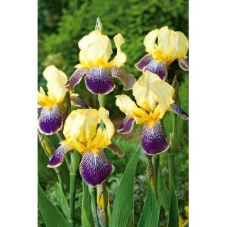 Kosaciec, Irys - Purple and Yellow