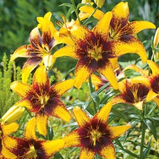 Lilia - Yellow & Brown