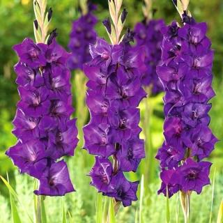 Mieczyk Purple Flora - 5 szt.
