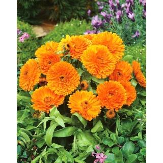 Nagietek lekarski Orange Gem - pomarańczowy