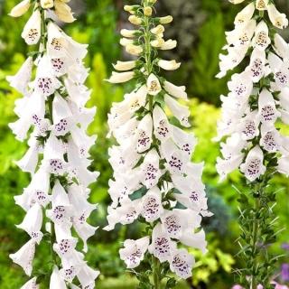 Naparstnica purpurowa - o kwiatach białych