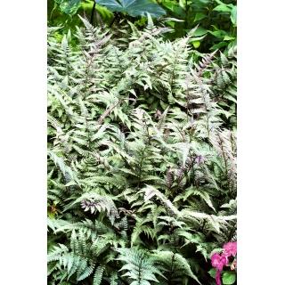 Paproć ogrodowa - Pictum - sadzonka