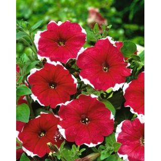 Petunia ogrodowa Iluzja - czerwona