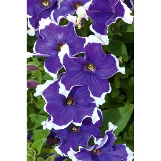 Petunia ogrodowa Iluzja - niebieska
