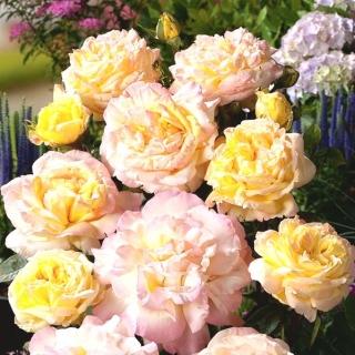 Róża pnąca cytrynowo-różowa - sadzonka