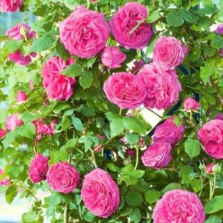 Róża pnąca różowa - sadzonka