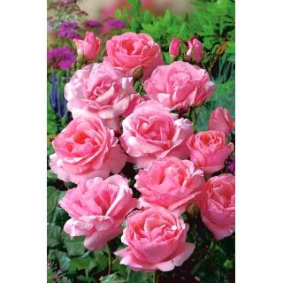 Róża rabatowa różowa - sadzonka