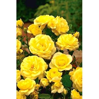 Róża rabatowa żółta - sadzonka