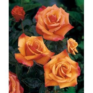 Róża rabatowa żółto-pomarańczowa - sadzonka