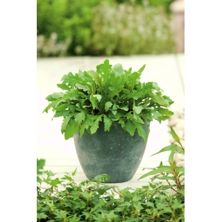 Mini ogród - Rukola sałatkowa - do uprawy na balkonach i tarasach