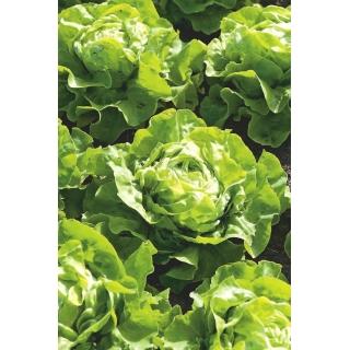 Sałata Lento - głowiasta, masłowa, do uprawy całorocznej