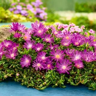 Słonecznica, Delosperma szerokolistna - różowa