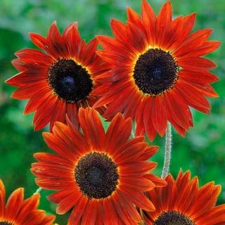 Słonecznik ozdobny Evening Sun - czerwono-brązowy