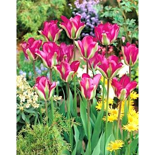Tulipan Violet Bird - opak. 5 szt.