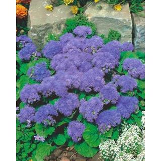 Żeniszek Tetra Blue Mink - fioletowy