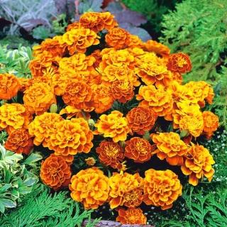 Aksamitka Queen Sophia - rozpierzchła, pomarańczowo-mahoniowa