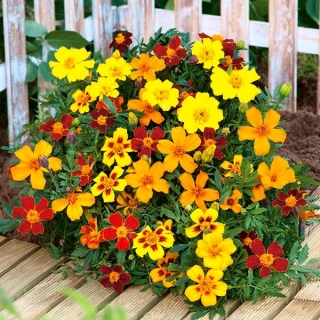 Aksamitka rozpierzchła - mieszanka o kwiatach pojedynczych