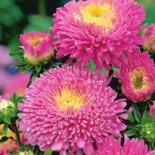 Aster pomponowy - różowy