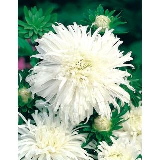 Aster chryzantemowy - biały