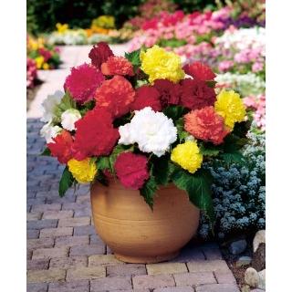 Begonia strzępiasta - mix kolorów - 2 szt.