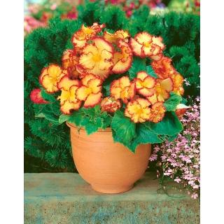 Begonia - Marginata Yellow - żółto-czerwona - 2 szt.