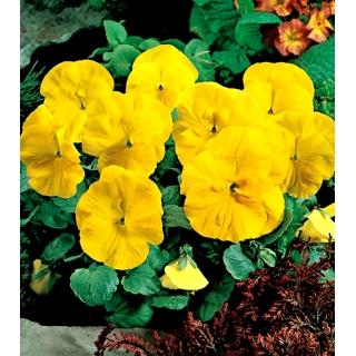 Bratek wielkokwiatowy - żółty Goldgelb, Coronation Gelb