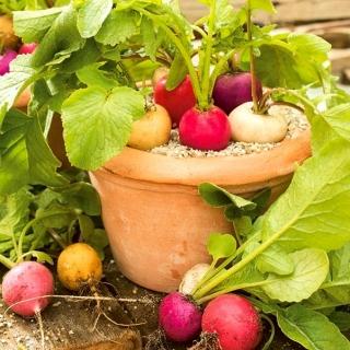 Domowy ogródek - Rzodkiewka - mieszanka różnych typów - do uprawy w domu i na balkonie