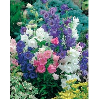Dzwonek ogrodowy Calycanthema