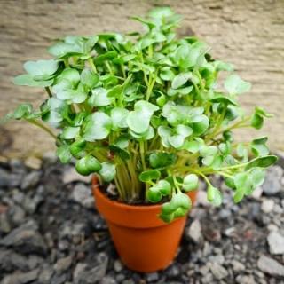 BIO Nasiona na kiełki - Gorczyca sarepska - Certyfikowane nasiona ekologiczne
