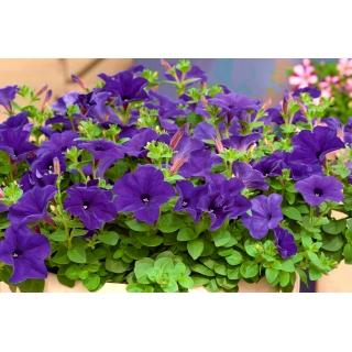 Petunia wielkokwiatowa - niebieska
