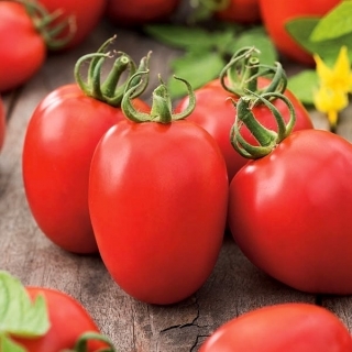 Pomidor Kmicic